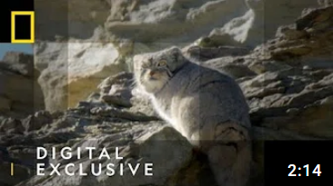 Pallas's Cat Makes an Appearance | Wild Cats of India | National Geographic Wild UK