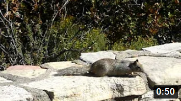 Rock Squirrel Alarm Call in Zion National Park