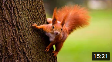 Cute Red Squirrels Joyful Playing, Lovely & Funny Moments -1
