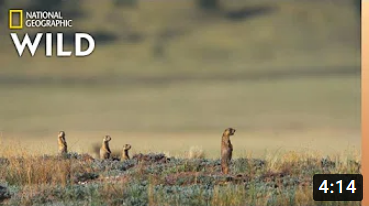 New Prairie Dog Pups Learn Danger | Prairie Dog Manor